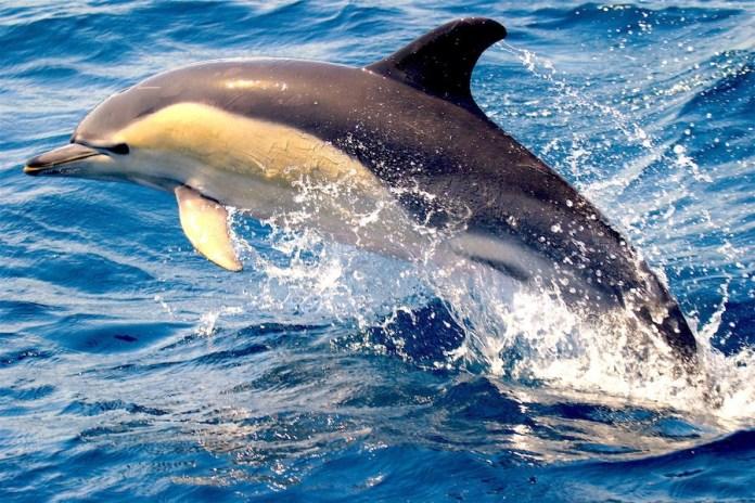 Delfines en el Mar de Alborán. Circe