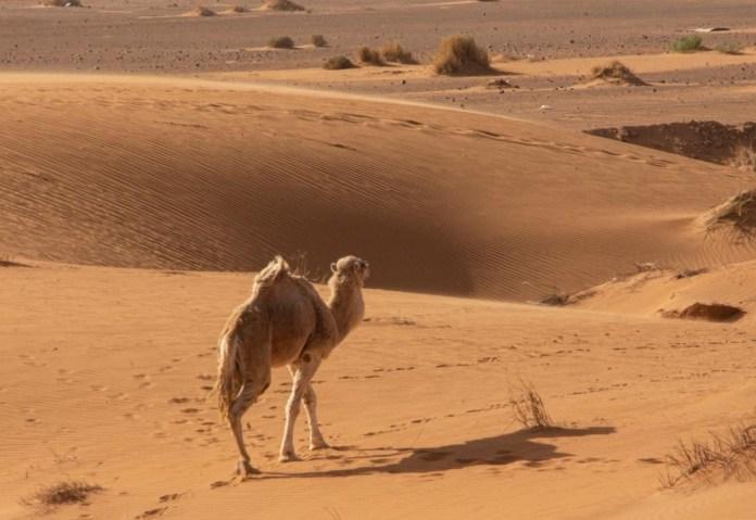 G Piña-Rosales Campesina camello