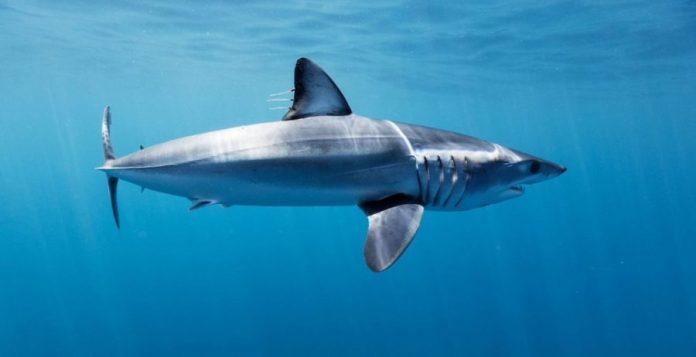 Tiburón marrajo  @ David Seradell