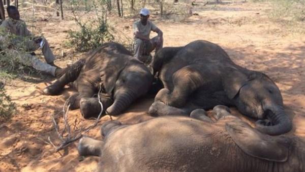 Elefantes muertos en Botswana