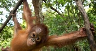 Greenpeace alerta del descenso en la población de orangutanes