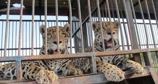 Animales enjaulados del Circo América