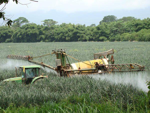 Fotos de cultivo de piña en Costa Rica