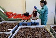 Mondelo: Recolección y preparación de castañas en la cooperativa de Puerto de Mijares