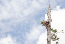 orangutanes indonesia