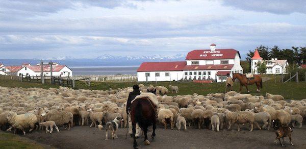 Ovejas en la Patagonia Chilena