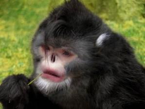 El mono de hocico chato (Rhinopithecus strykeri) más conocido como el mono sin nariz de Myanmar es una rara especie de mono colobino encontrado en el norte de Birmania, en Myanmar. Obviamente, lo que resulta especialmente peculiar en este mono es el hecho de que su nariz esté tan levantada que parece no existir. Como resultado, cuando llueve este mono estornuda una y otra vez. Aunque se trata de una especie nueva para la comunidad científica, muchos pobladores de las regiones en las que estas criaturas habitan sostienen que es muy común encontrarse con ellos, sobre todo cuando se acercan lluvias y tormentas, cuando según cuenta colocan su cabeza entre sus piernas para proteger su nariz.