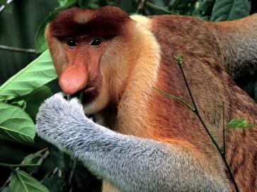 El Mono Narigudo o Násico (Nasalis larvatus) es una especie de primate catarrino de la familia Cercopithecidae, herbívoro, encontrado en las costas de Borneo. Es inconfundible por su cara rosada y su larga y abultada nariz, la cual se cree que puede ser resultado de la selección sexual; la hembra prefiere machos de nariz grande, perpetuando esta característica.