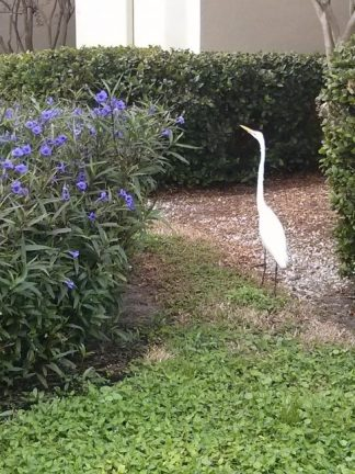 egret visiting the hospital