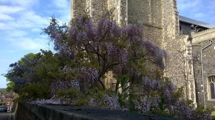 St Giles Wisteria 3