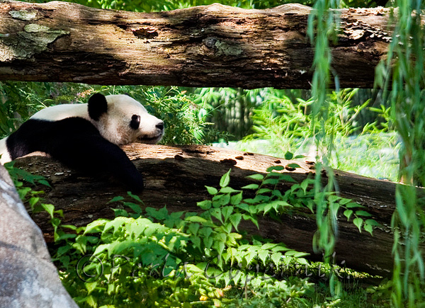 Another illustrious guest of National Zoo in Washington DC is this giant panda. Another endangered species that depends on zoos around the world for its survival.