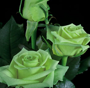 Roses wedding FlowersPerla Farms