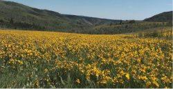 Kwietne łąki w górach stanu Utah