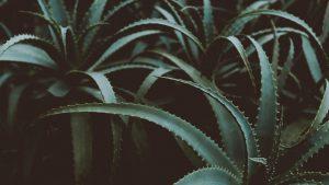 photo of green aloe vera plants