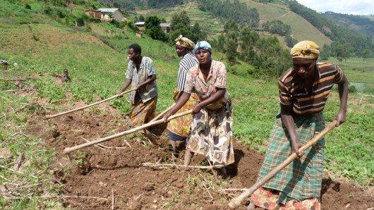 Un gruppo di donne Abahingi (agricoltori di sussistenza) del villaggio di Mirindi, Nangara preparano il terreno per piantare fagioli.