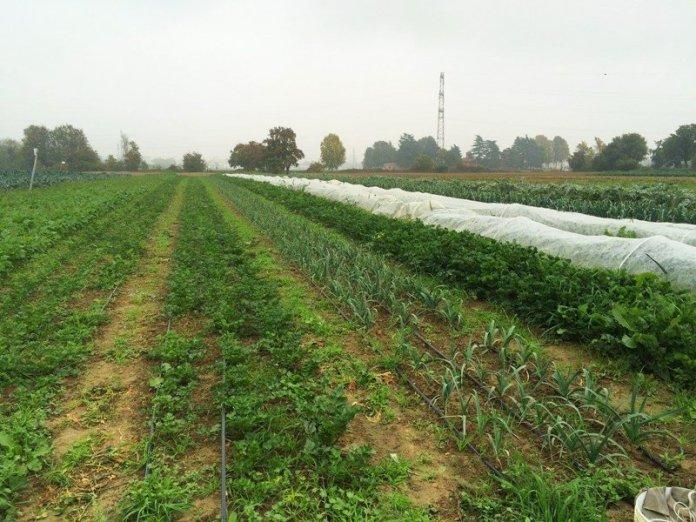 Campi di Arvaia con alcune coltivazioni tra cui il sedano rapa (in primo piano).