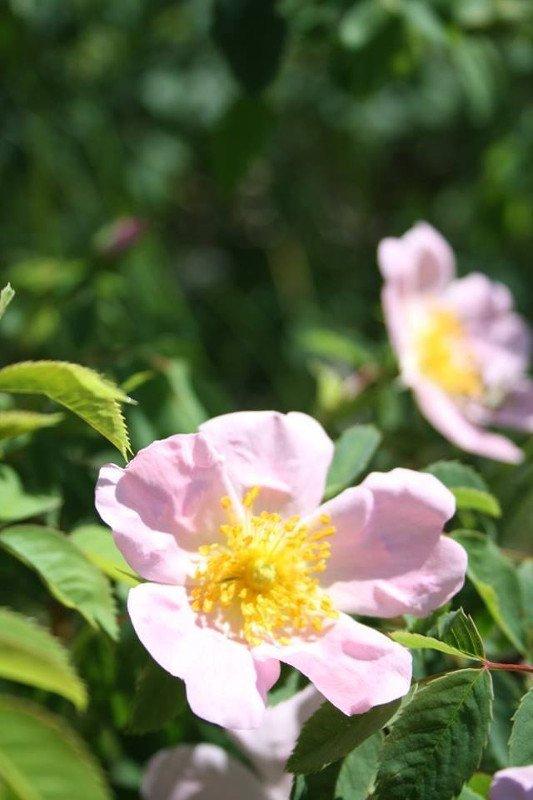 rosa selvatica sara elke carozzo