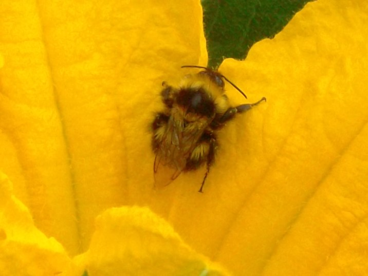 bee on courgette flower