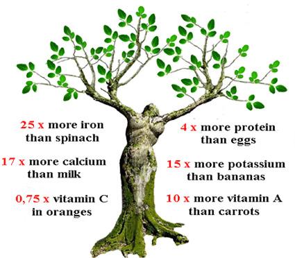 Moringa Tree – Permaculture Institute of Thailand