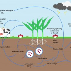 Basic Carbon Cycle Diagram 2002 Dodge Stratus Relay Addressing Nitrogen Deficiency In Organic Crop Production