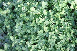 Trifolium repens ground cover