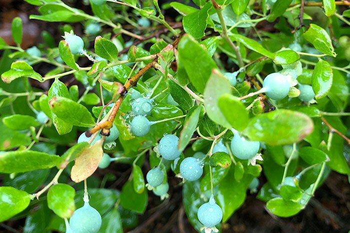 Hochproduktives Blaubeer-Gildensystem