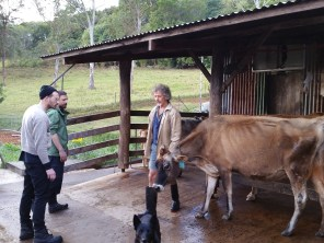 Walking the cows out to their paddock