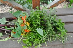nasturtium_herbs