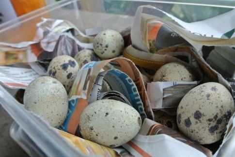 quails_eggs2