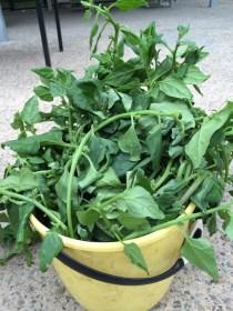 nz_spinach