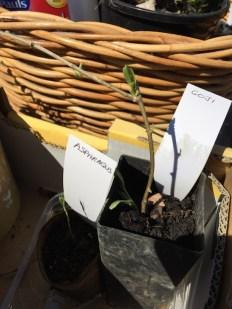asparagus_goji