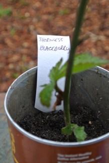 thornless_blackberry