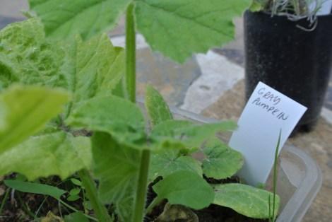 pumpkin_seedlings