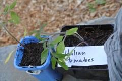 tomato_seedlings2
