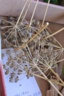 parsley_seeds2
