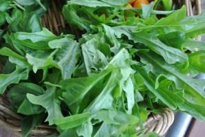 oakleaf_lettuce2