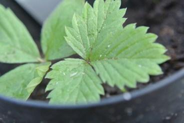 pineberry2