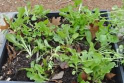 lettuce_seedlings
