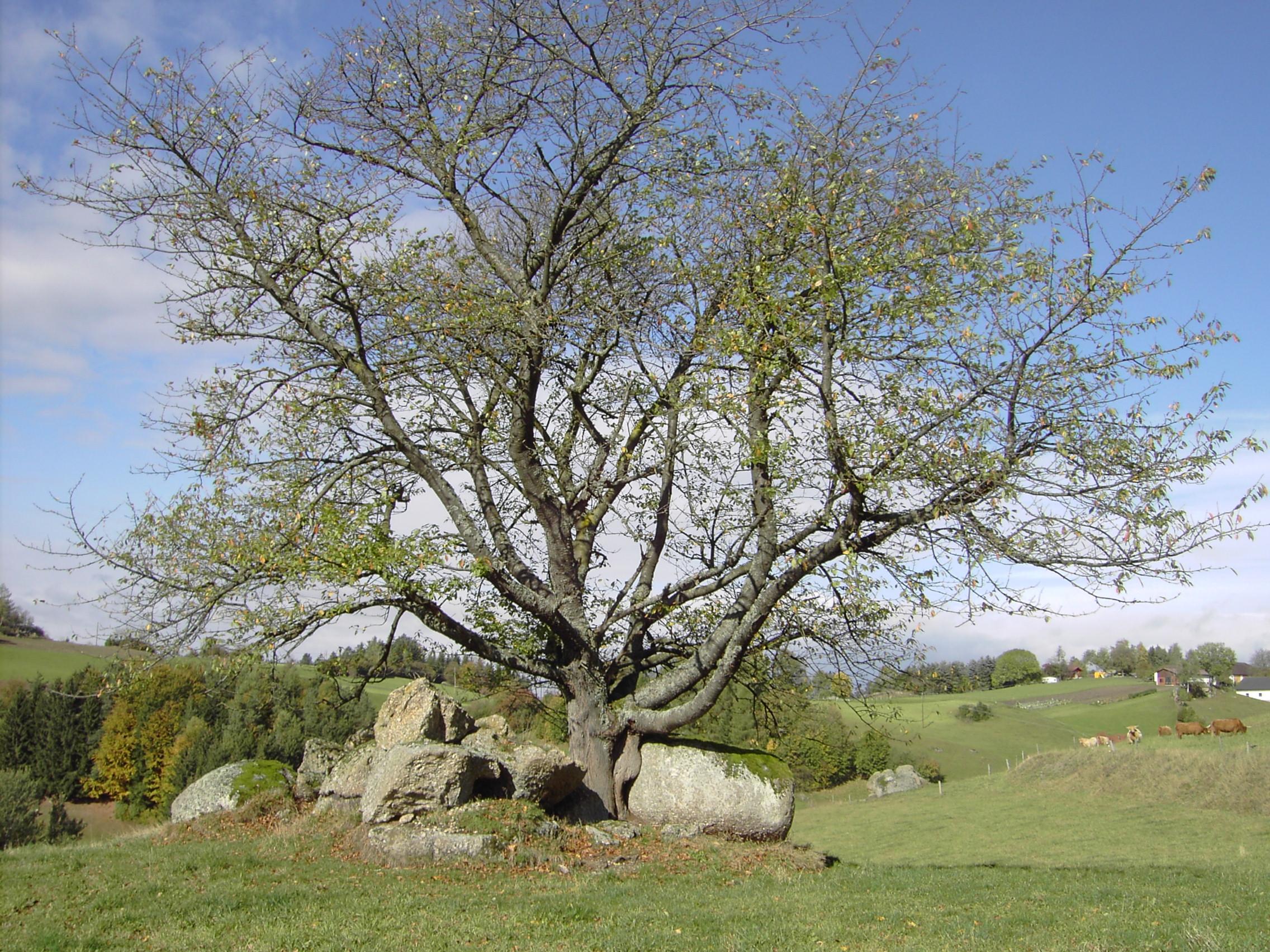 Alter Vogelkirschbaum