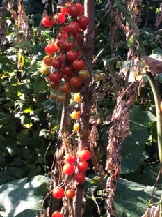 Milanówek Krystyna Słowik pomidory 3