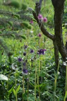 Orliki to jedne z kwiatów wędrujących - rozsiewają się same i zaskakują, kwitnąc pięknie w maju.