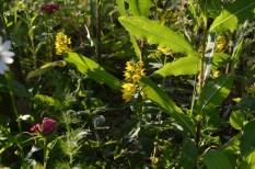 """Kwiaty, zioła, """"chwasty""""... wędrują swobodnie, zaskakują w różnych częściach ogrodu."""