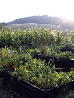 Nasze rabatki późnym latem. Każdy kawałek ziemi jest wykorzystany. Gdy zbierzemy warzywa z jakiegoś fragmentu rabatki to na to miejsce od razu sadzimy nowe (np. na miejsce po marchewce wsadzamy kapustę pekińską).
