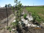 Zaściółkowany kartonami żywopłot, posadzony w uprawie czosnku sąsiadów, (bo granice się przesunęły).