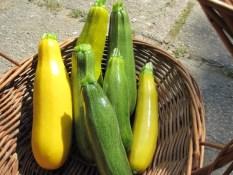 CUKETE Ta bučka ima zelo lepe rumene ali zelene plodove, meso pa je zelo sočno in okusno. Če jo nabiramo kot mlado bučko (plod dolžine do 30 cm), jo lahko pripravljamo na različne načine: v solatah, pohano, ocvrto ali pečeno na žaru, dodajamo jo lahko v sokove in smutije, skupaj z drugo zelenjavo pa jo lahko tudi vlagamo. Ko plod zraste večji od 30 cm, ga je bolje pustiti, da zraste do maksimalne velikosti. Njeno meso potem naribamo in uporabimo v omakah, enolončnicah, v zelenjavnih rižotah, pitah . . . Sadimo jo na razdaljo 50 – 60 cm, ker se širi na vse strani. Paziti moramo, da ima med vrstami dovolj prostora – razširi se lahko do 2 m v premeru. Dobri sosedje: buče, rdeča pesa, kapucinka, fižol, čebula, poprova meta, peteršilj, solata, špinača. Slabi sosedje: paprika, koruza.