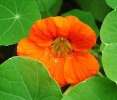KAPUCINKA Kapucinka je zelo pogosta in priljubljena cvetlica. Mnogi vrtnarji vedo, da je kapucinka hkrati tako začimbna kot aromatična rastina, čigar cvetovi in listi se lahko dodajajo v solato, za okras ali zaradi zdravilnih lastnosti. V primeru prehlada ali bolečega grla prežvečimo list ali dva (listi vsebujejo naravne antibiotike). Kapucinko sadimo na sončna in topla mesta na vrtu, vendar preveč sončne pripeke slabo vplivalo na razvoj sočnih listov in cvetov. Lahko uspeva tudi v polsenci. Potrebuje bogata tla in dovolj vlage, zato ga poleti pogosto zalivamo. Sadimo jo na razdaljo 10 do 20 cm.