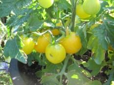 PARADIŽNIK BALKONSKI MALI RUMENI: pritlikava sorta paradižnika obrodi majhne, okrogle, rumene in sočne plodove, s premerom 2 – 3 cm. Zraste največ 30 – 40 cm.