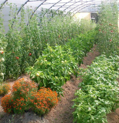 tomate poivron basilic serre concombre