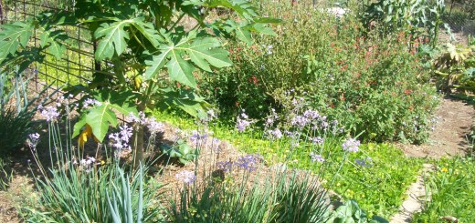 Our permaculture garden, a haven for pollinators, and our supermarket!
