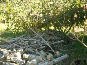 Firewood in the foreground and heavy mulch under the mulberry tree